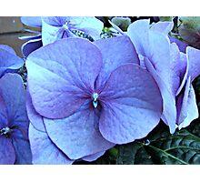 Blue Lacecap Hydrangea Macro Photographic Print