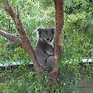 Koala Bear by Ian Lea