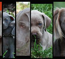 Weimaraner Faces by Emma Hardcastle
