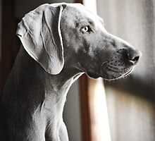 Weimaraner On Guard! by weimoo