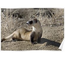 Unbelievable Black-footed Ferret Poster