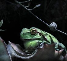 Treefrog by jimmy hoffman