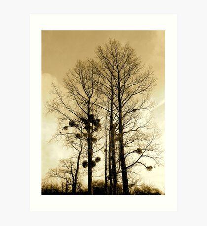Holly trees Art Print