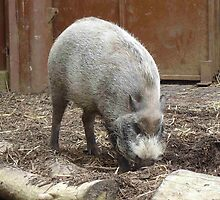 Special Bearded Pig by cute-wildlife