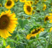 sunflowers_1 Sticker