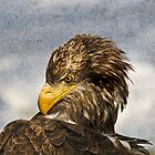 Young Bald Eagle by Elaine123