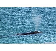 Great Southern Right Whale Photographic Print