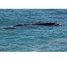 Southern Right Whale Calf Photographic Print