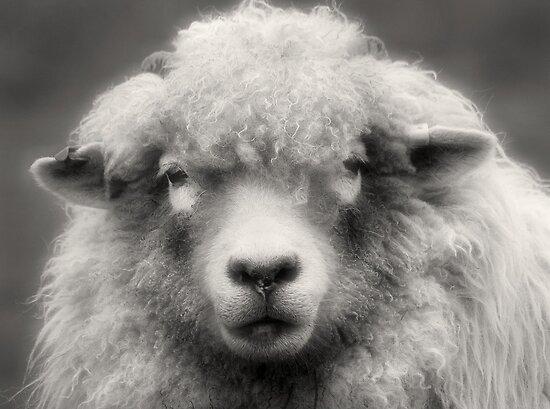 Sheepish Looks by Lance Leopold