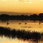 Black Swans on Sunset by Gabrielle  Lees
