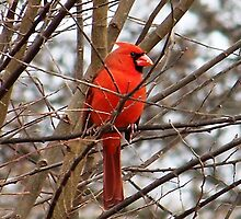 Cardinal Enjoys Breakfast by Penny Odom