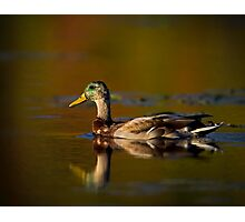 Cross-dressed Duck Photographic Print