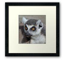 I Do Not Believe It - Ring-tailed Lemur Framed Print