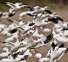 The Miracle of the Snow Geese Migration by David Friederich