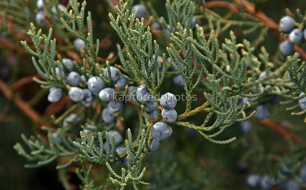 Juniper berries and brush by Kenric A. Prescott