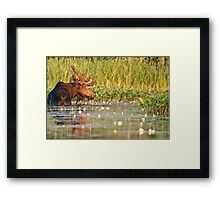 Moose In The Marsh Framed Print