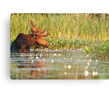 Moose In The Marsh Metal Print