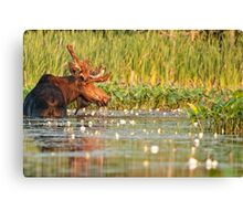 Moose In The Marsh Canvas Print
