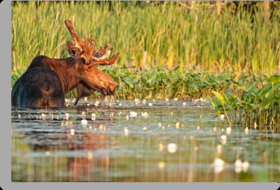 Moose In The Marsh by Bill Maynard