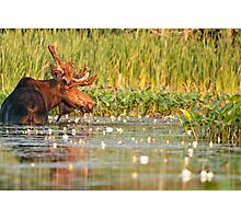 Moose In The Marsh Photographic Print