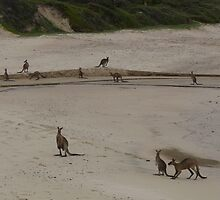 Kangaroos on the beach, Yuraygir National Park, NSW, Australia by lomandra