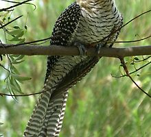 Common Koel : Eudynamys scolopacea by Trish Meyer