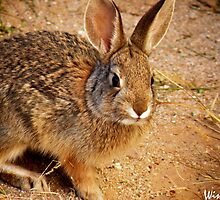 This is a Baby Cottontail by Winona Sharp