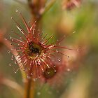 Tall Sundew  by Justine Armstrong
