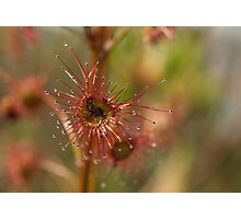 Tall Sundew  Photographic Print