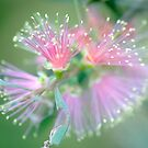 Softy - bottlebrush flower by Jenny Dean