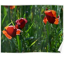 Poppies - Puglia Italy Poster