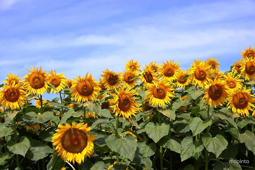 Sunflower Patch - Prince Edward County by mdpinto