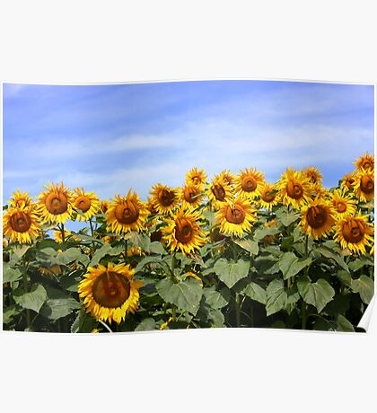 Sunflower Patch - Prince Edward County Poster