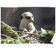 Meerkat @ Melbourne Zoo Poster