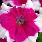 A Petunia flower by Joe Bashour