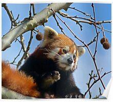 Red Panda Exploring Poster