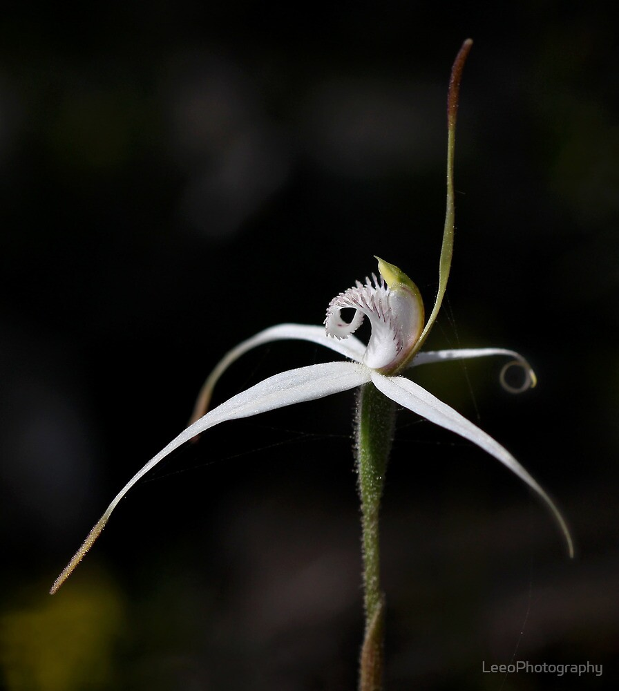 Stiff white spider-orchid by LeeoPhotography
