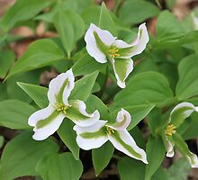 Green-striped Trilliums - Rattray Marsh, ON by mdpinto