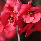 Rich and Lush Flowering Quince by Joy Watson