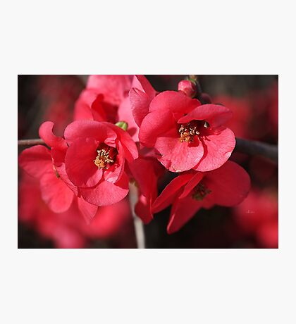 Rich and Lush Flowering Quince Photographic Print