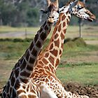 Giraffes at Werribee by Lozzar Landscape