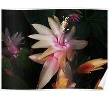Peach & Pink Christmas Cactus Poster