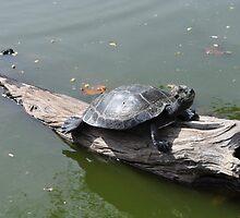 turtles - honolulu zoo by ciarabaker
