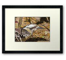 Kookaburra Feeding Framed Print