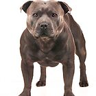 Staffordshire Bull Terriers by Paul.S Photography  by Paul.S Photography
