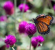 Monarch Butterfly by Agro Films
