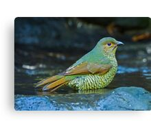 Juvenile Satin Bower Bird Canvas Print
