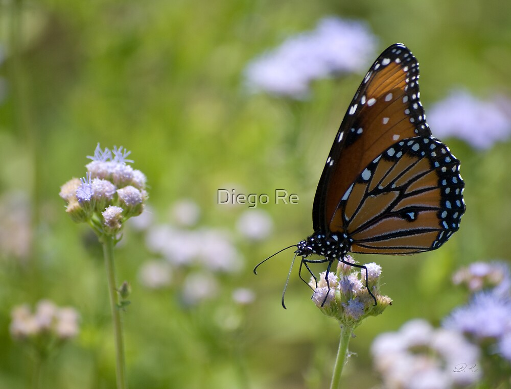 Monarch Butterfly On White Flowers by Agro Films