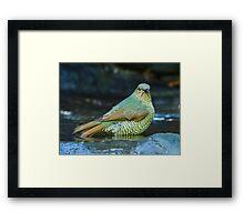 Juvenile Satin Bower Bird Framed Print