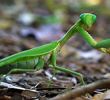 Green Preying Mantis by Dennis Wetherley